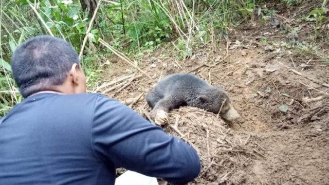 Sayang Anak, Induk Beruang Hambat Petugas BKSDA Yang Hendak Menyelamatkannya